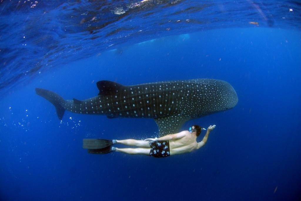 whale-sharks-2