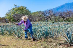 Agricultor de agave, planta que da origen al tequila Jalisco