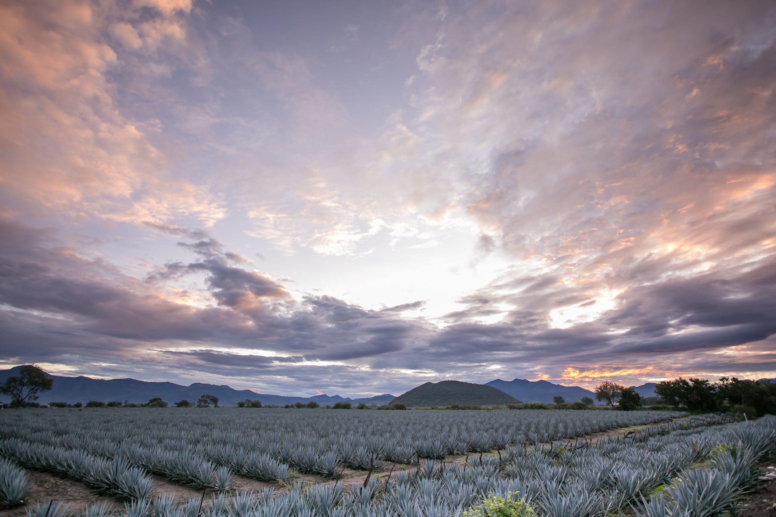 Campos de Agave Tequila