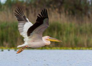 Pelícano volando en Isla Blanca