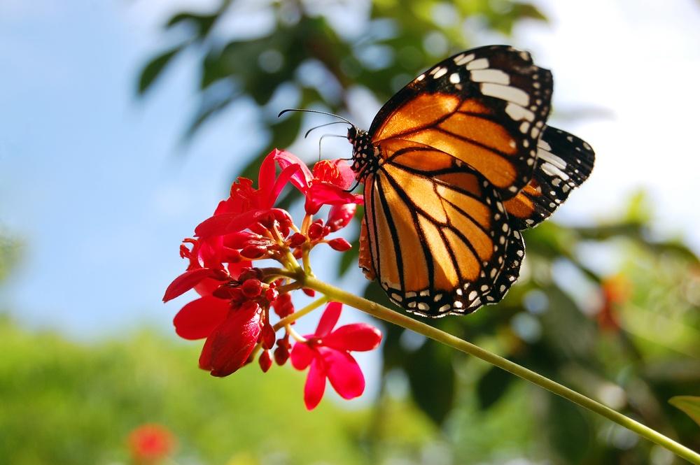 La mariposa monarca desde cerca