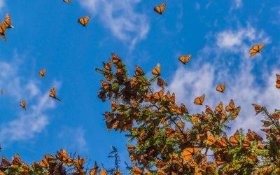 Santuario en México de mariposas monarca